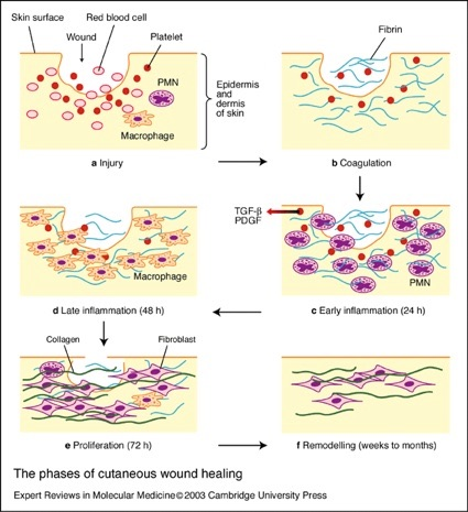 Dermal Papilla Cells Improve the Wound Healing Process and